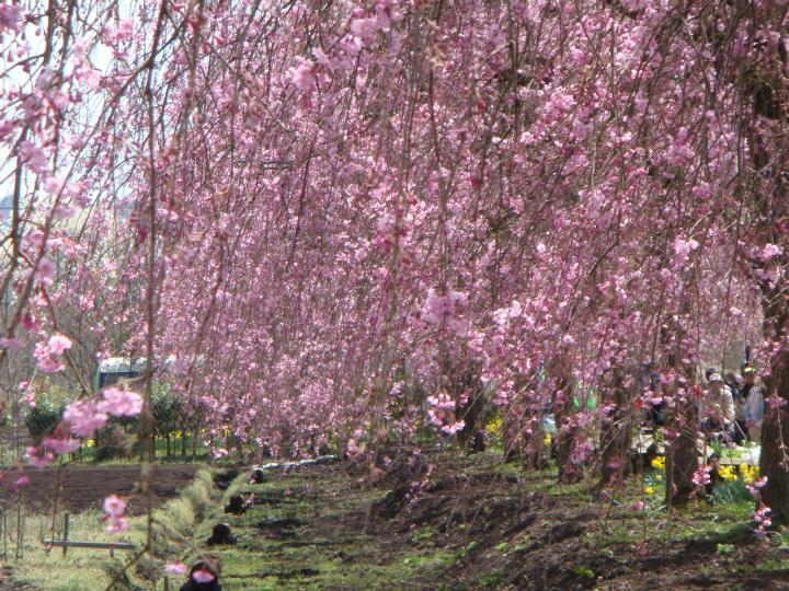 頭の上に垂れ下がるヤエベニシダレ桜