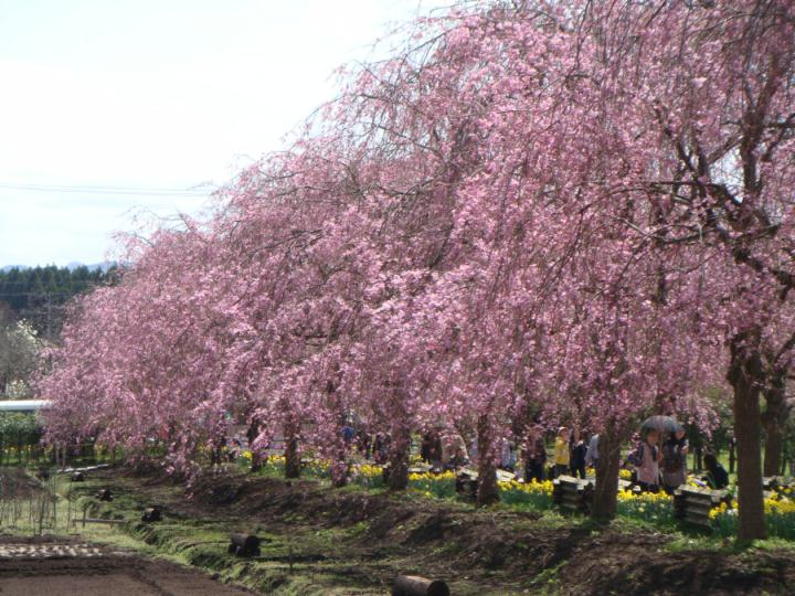 綺麗に並ぶヤエベニシダレ桜