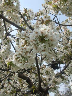 2010_0415幼稚園の春102482