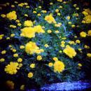 黄色い花多重