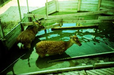 水浴び鹿さん