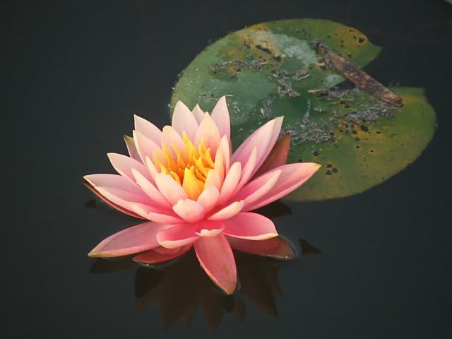 ルンビニーの「蓮の花」