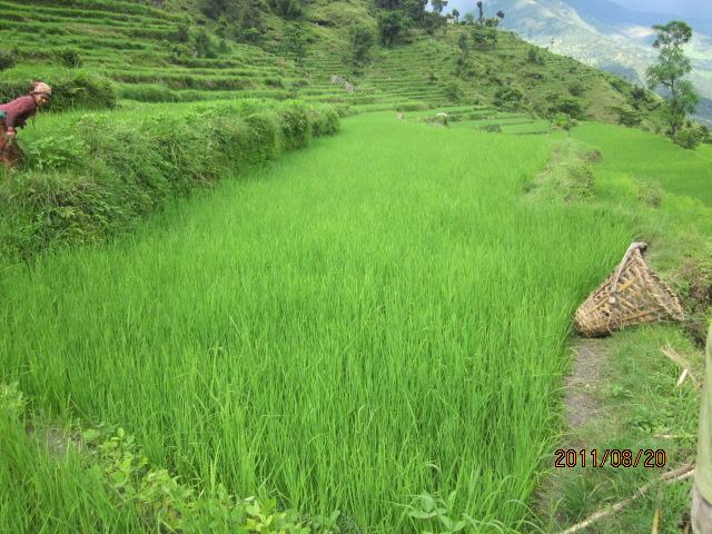 稲の生長 001