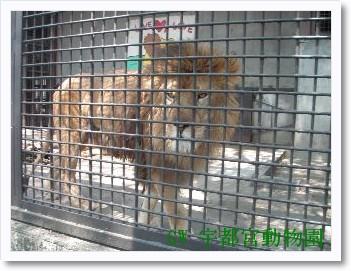 0502宇都宮動物園ライオン.jpg
