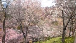 吉野桜 (5)