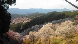 吉野桜 (2)