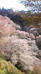 吉野桜 (1)