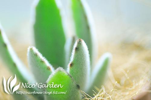 カランコエの月兎耳