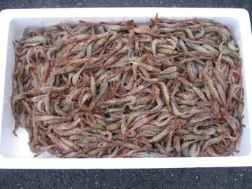 クロザコエビ