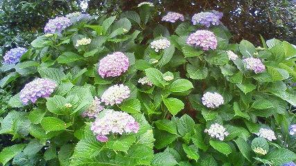 s-たくさん咲く紫陽花