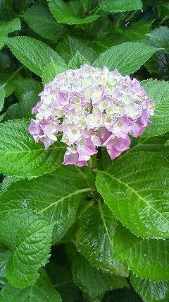s-ひとつ咲紫陽花