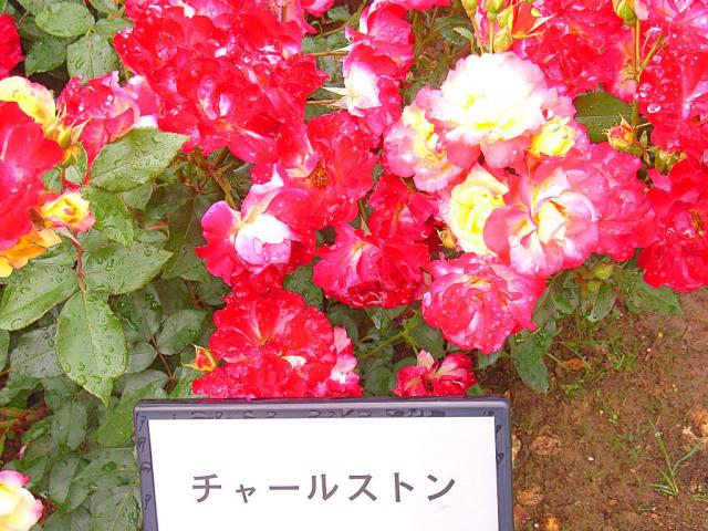06-Rose01.jpg