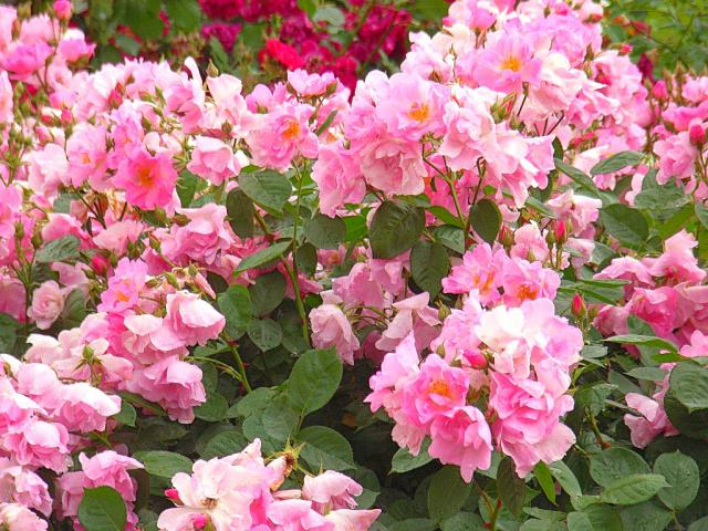 06-Rose02.jpg