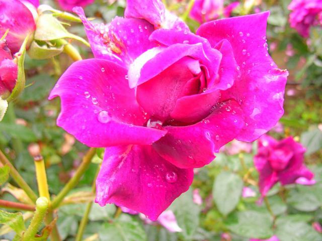 06-Rose03.jpg