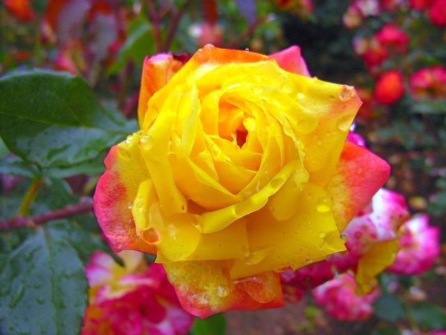 06-Rose04.jpg