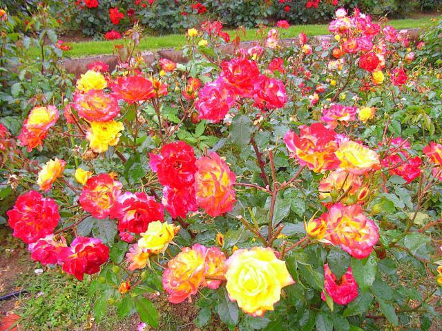 06-Rose05.jpg