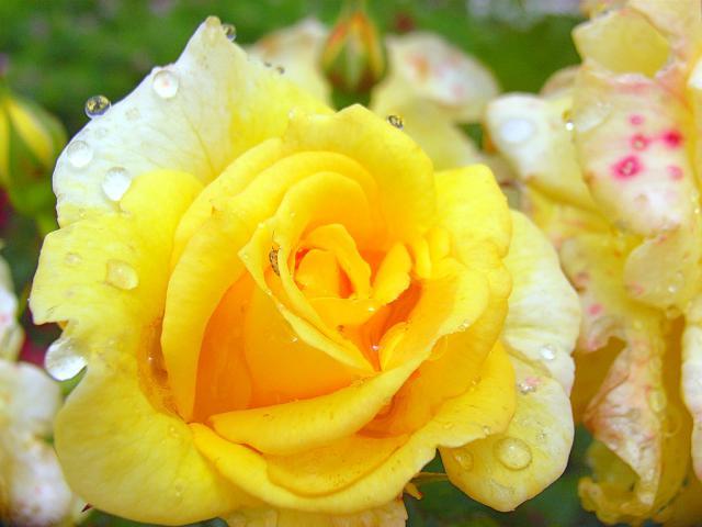 06-Rose07.jpg