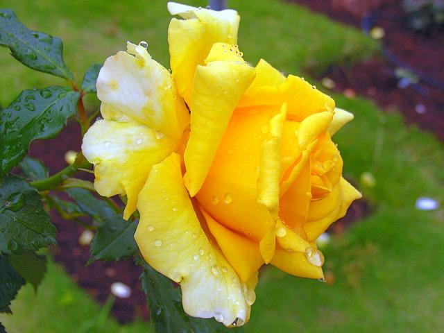 06-Rose08.jpg