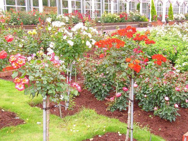 06-Rose09.jpg