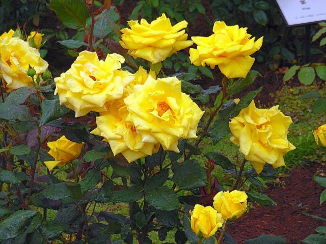 06-Rose13.jpg