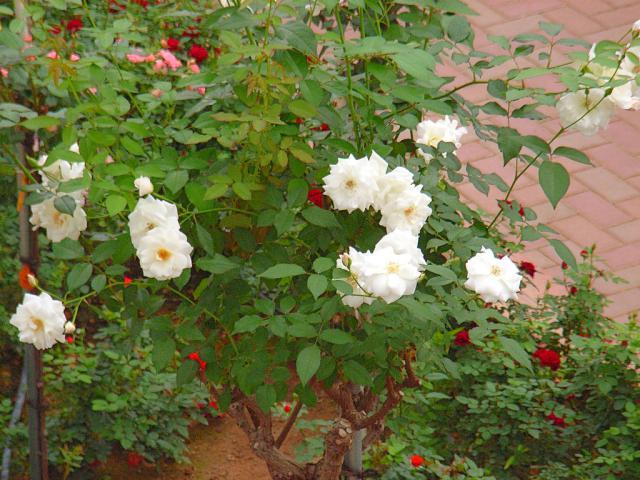 06-Rose17.jpg