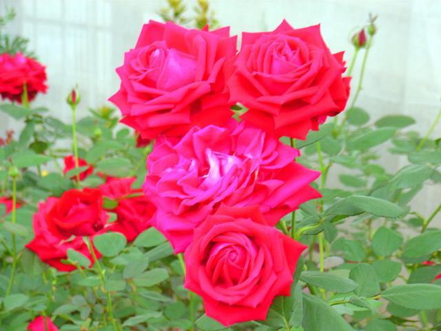 06-Rose18.jpg