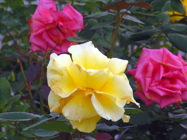 06-Rose20.jpg