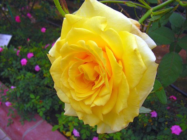 06-Rose23.jpg