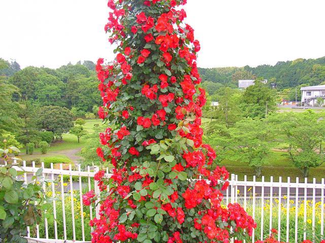 06-Rose26.jpg