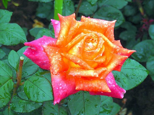 06-Rose27.jpg