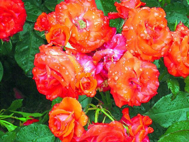 06-Rose28.jpg