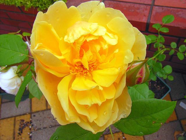 06-Rose31.jpg