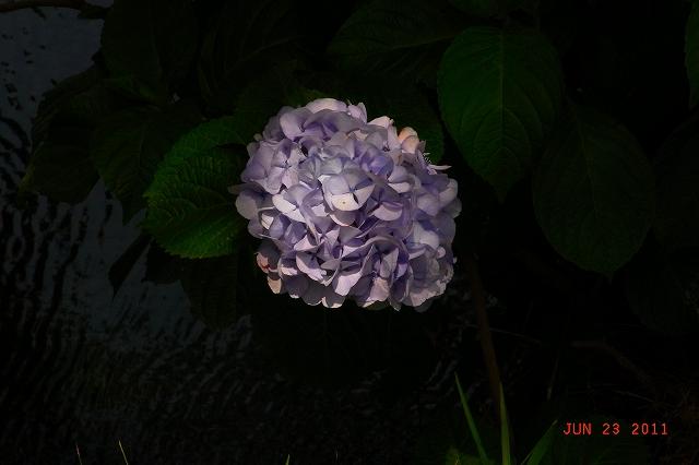 2011-06ajisai.jpg