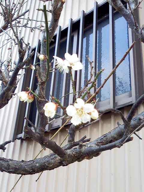 2012梅の花