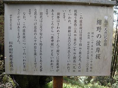 彼岸桜02