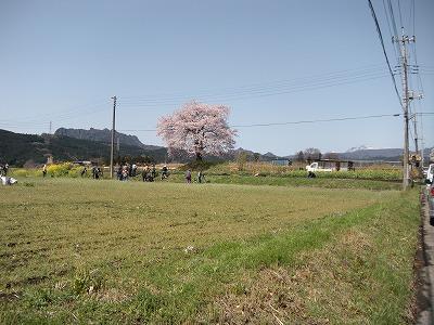彼岸桜03