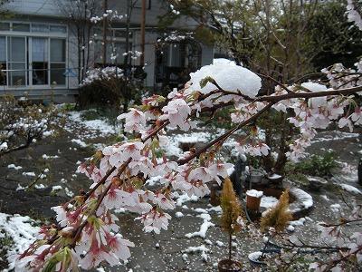 桜と雪02