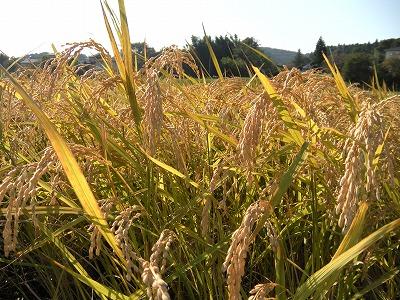 新米収穫01