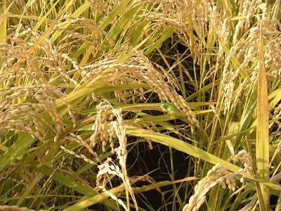 新米収穫07