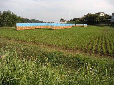 新米収穫08