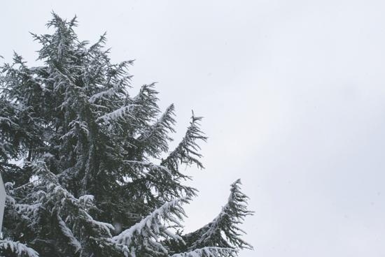 ヒマラヤ杉2