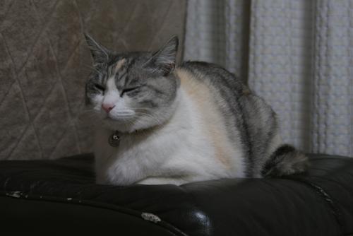 キャベツ猫01