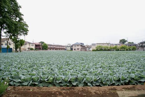 キャベツ畑01