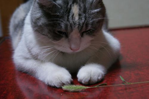猫じゃらしと美優02