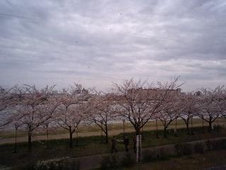 やすらぎ堤の桜並木