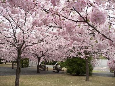 2010桜 014