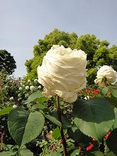 薔薇 045