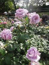 薔薇 040