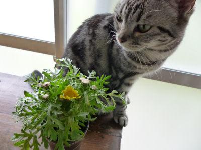 春菊咲いた!