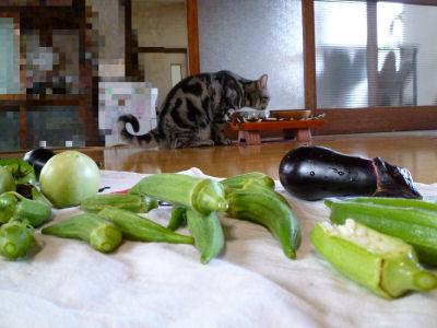 名残の夏野菜と猫